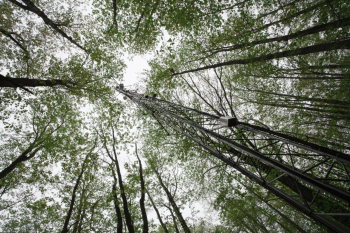 view looking up into a tree canopy -- trees have skinny trunks and green leaves