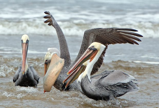 """The """"Reserve Inspiration"""" show is sponsored by the Audubon Society of Lincoln City, but it is not all about birds. Ernie Rose's photo of brown pelicans, however, is."""