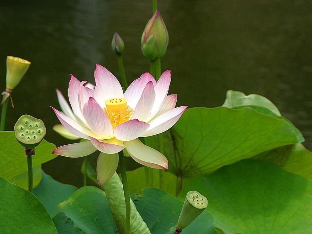 Massage des lotus 5D
