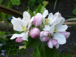 A photo of apple blossom