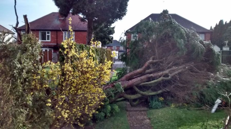 Dangerous Wind Blown Cypress Removal and Stump Grinding