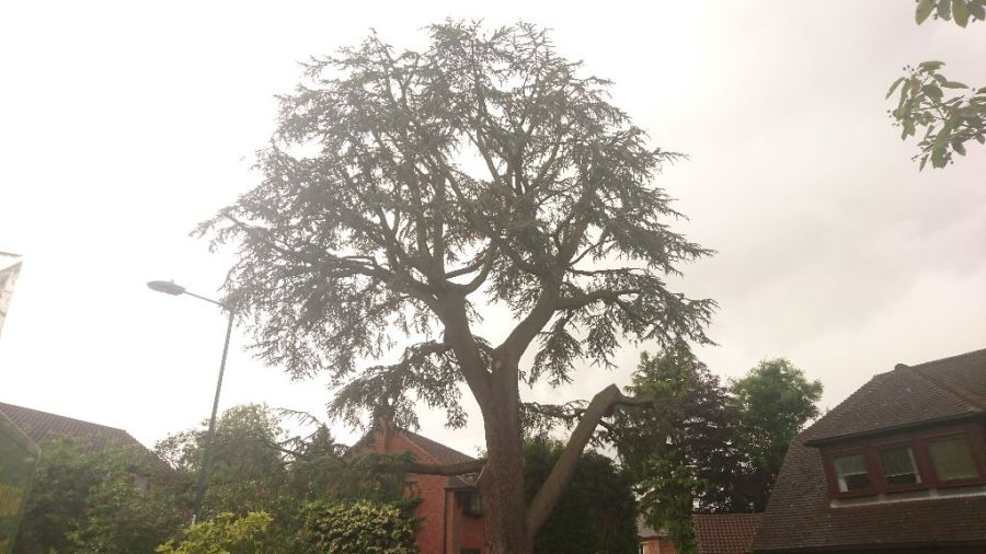 Large Tree Preservation Order Atlantic Cedar Tree Reduction, Wollaton, Nottngham