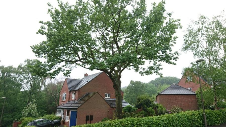 TPO Oak Tree Pruning in Mansfield, Nottinghamshire