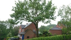 TPO Oak Tree Pruning in Mansfield, Nottinghamshire