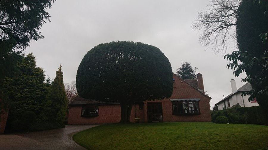 Yew Tree After Trimming in Gedling, Nottinghamshire