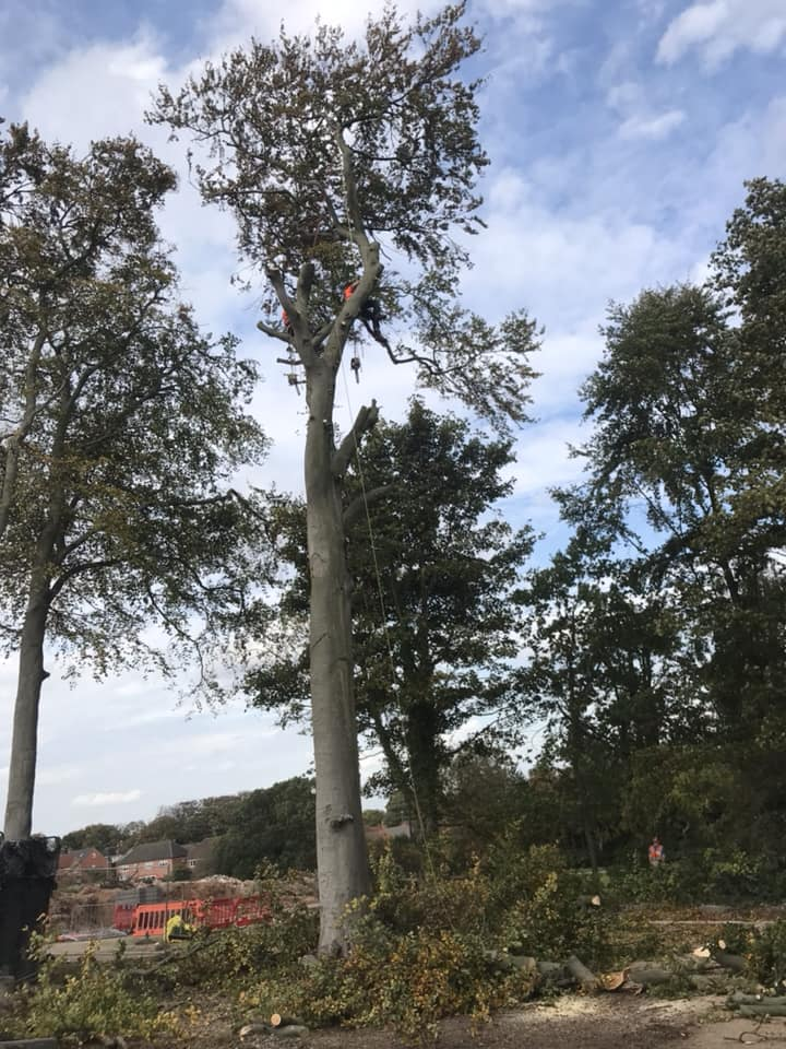Large Mature Beech Tree Nearly Dismantled & Removed