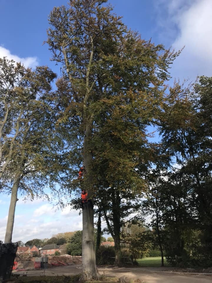 Large Beech Tree Removal In Mansfield, Nottinghamshire