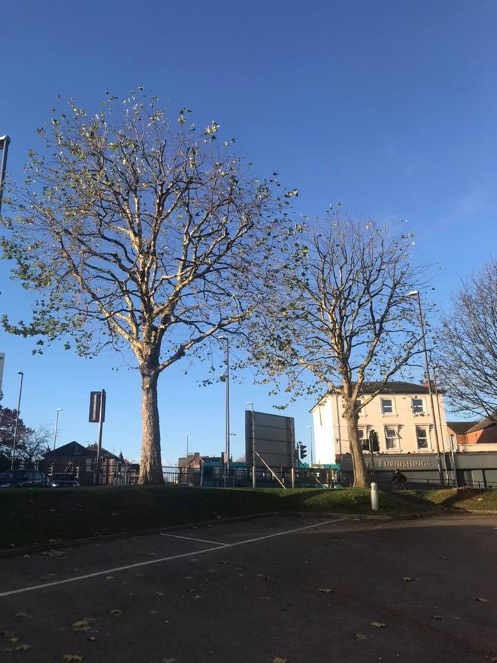London Plane Tree Reduction, Derby, INTU