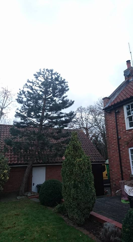 Scots Pine Tree Pruning, Plum Tree, Nottingham