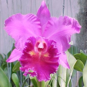 Cattleya lucky strike