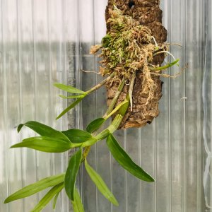 Orchidea Specie Botanica Dendrobium moniliforme
