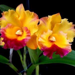 Orchidea Ibrida Cattleya thong suparn