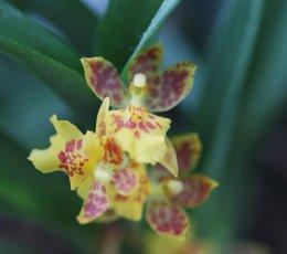 Orchidea Ibrida Howeara Mini Primi