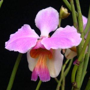 Orchidea Specie Botanica Vanda teres