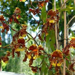 Cyrtochilum serratum