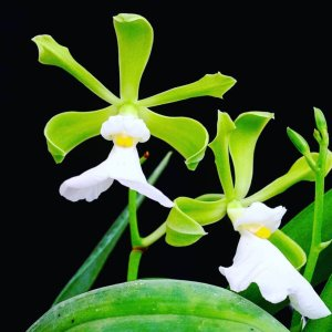 Encyclia cordigera (white)