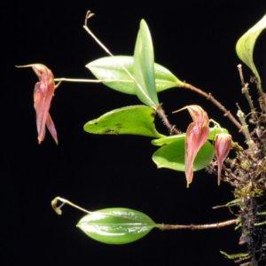Lepanthes maxonii