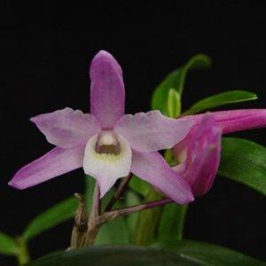 Dendrobium sakura