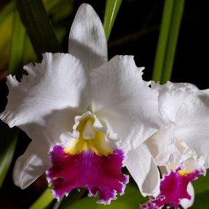 "Cattleya orglade's grand ""tian mu"""