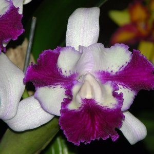 Cattleya taiwan beauty