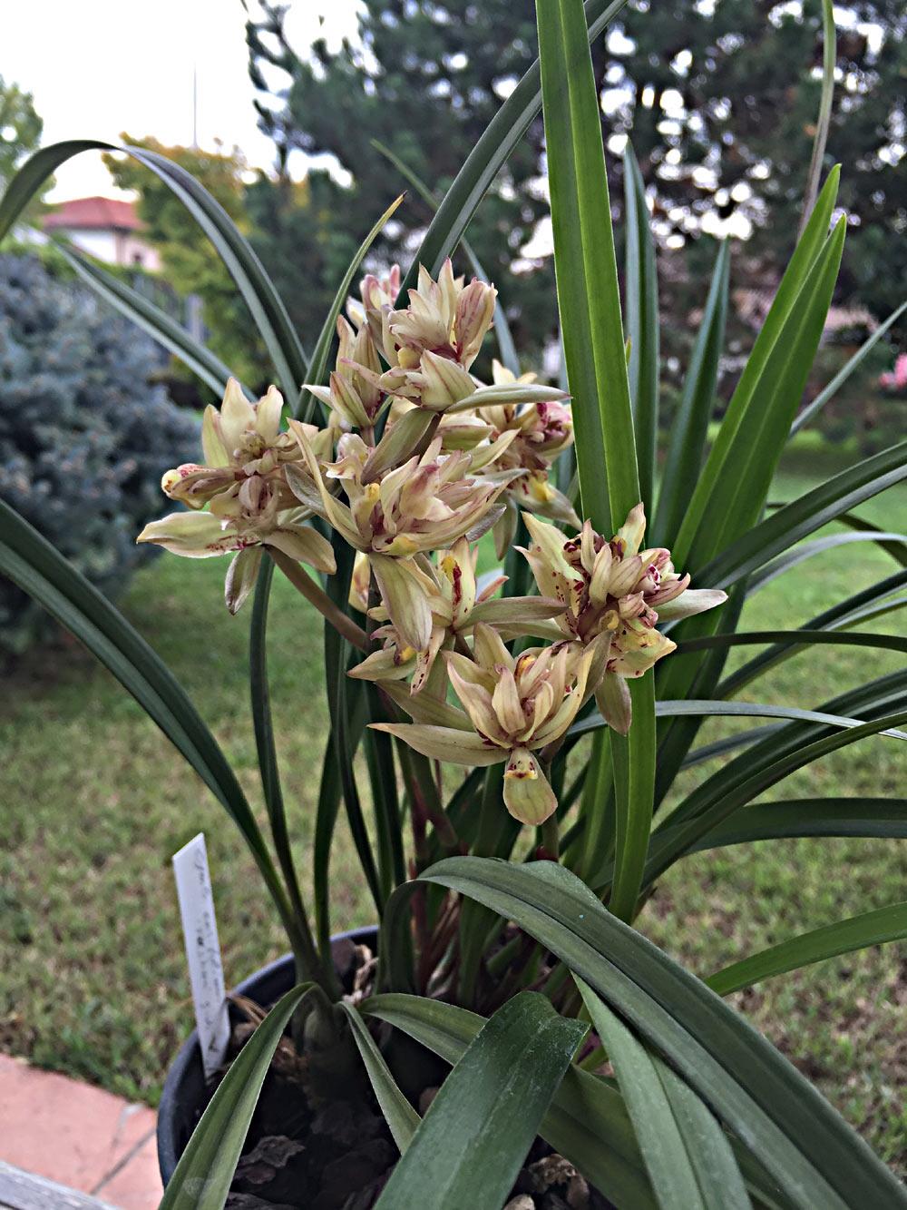 Cymbidium l orchidea dell amicizia - Orchidea da esterno cymbidium ...