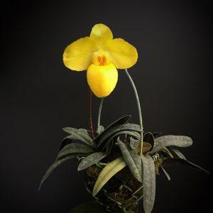 paphiopedilum-armeniacum