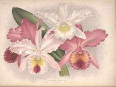 labiata_Iconographie_des_Orchidees