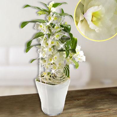 Orchideen mit Blume2000 versenden  Blume2000 Orchidee