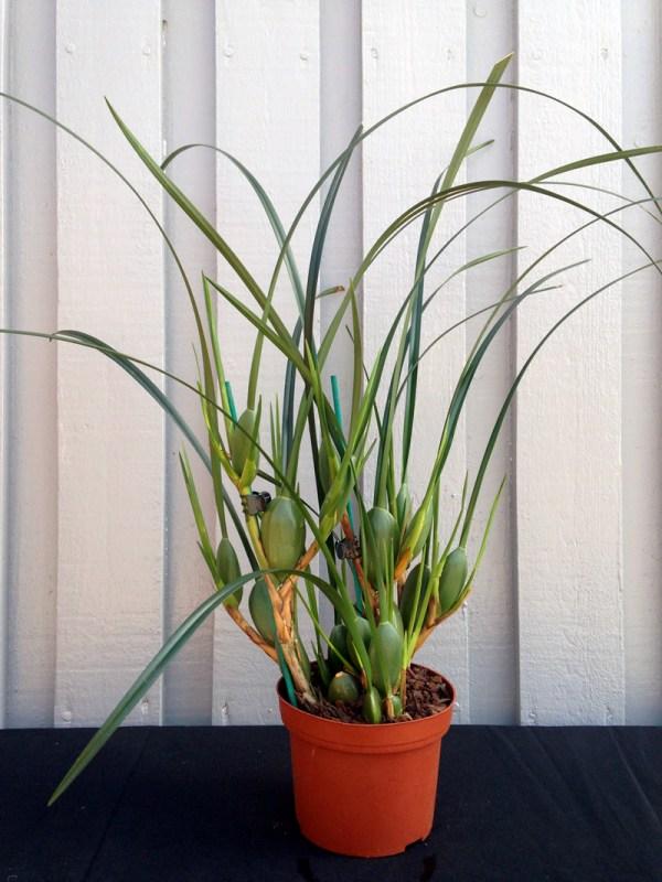 Maxillariella-tenuifolia--planta.jpg