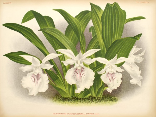 Cochleanthes-amazonica.jpg