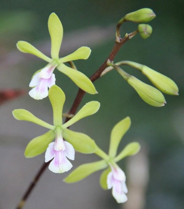 Epidendrum-floribundum.jpg