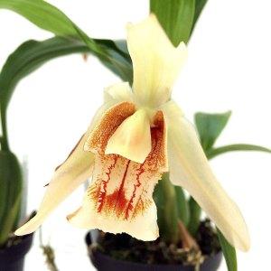 Coelogyne-Orchideengarten-Sabine.jpg