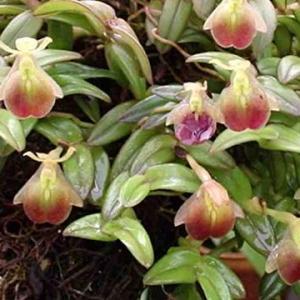 Epidendrum-porpax.jpg
