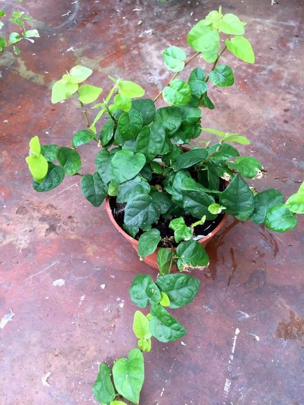 Ficus-pumila.jpg