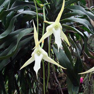 Angraecum-sesquipedale--planta.jpg