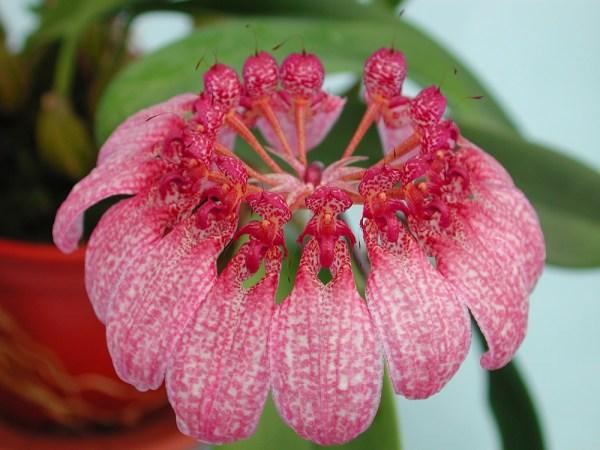 Bulbophyllum-eberhardtii.jpg