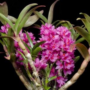 Dendrobium-Hibiki.jpg