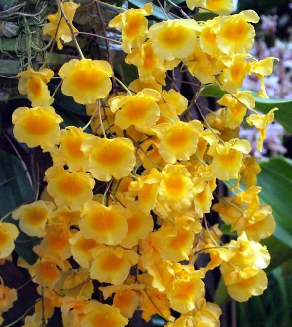 Dendrobium-lindleyi.jpg