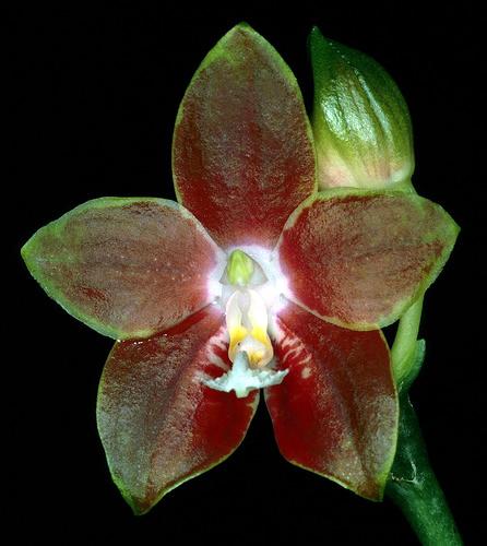 Phalaenopsis-venosa.jpg