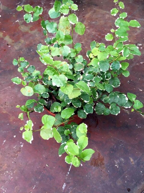 Ficus-pumila--Sonny.jpg