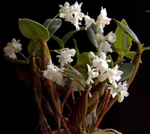 Dendrobium-aberrans.jpg