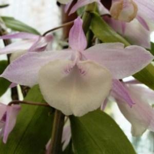 Dendrobium-aphyllum.jpg