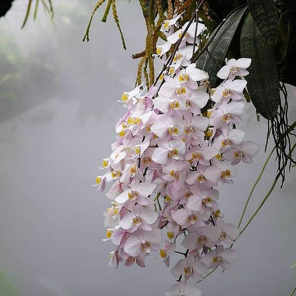 Phalaenopsis-philippinensis--planta.jpg