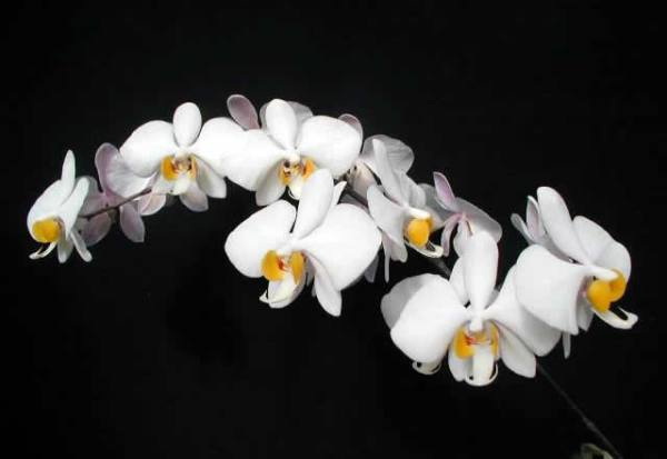 Phalaenopsis-phillipinense.jpg