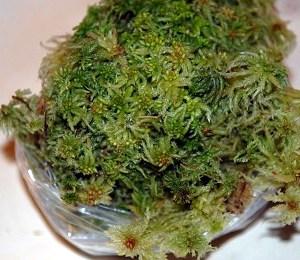 Sphagnum (Vitmossa)