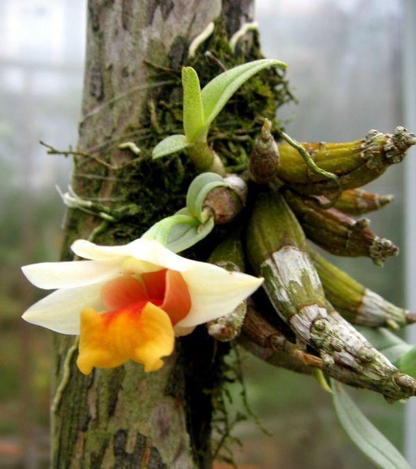 Dendrobium-bellatulum-planta.jpg