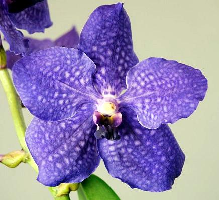 Vanda-Royal-Blue.jpg