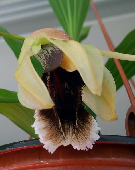 Coelogyne-Orchideengarten-Joachim.jpg