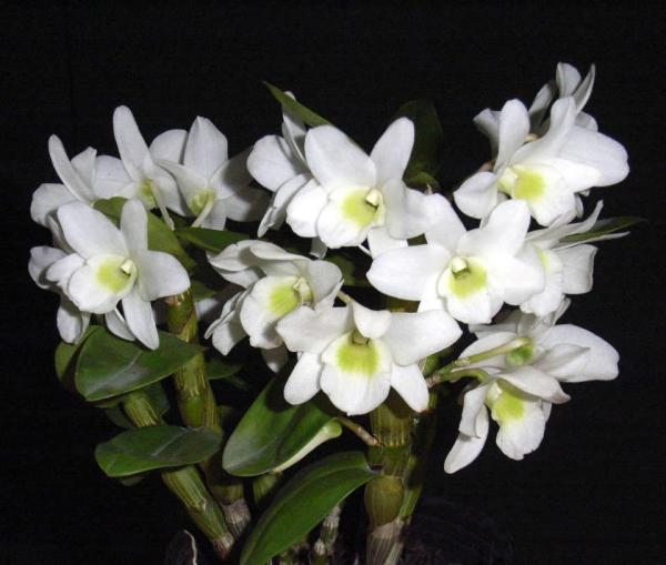 Dendrobium-Pocket-Lover.jpg