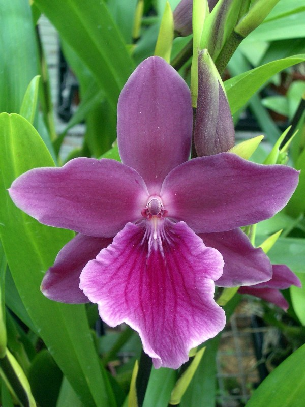 Miltonia-Honolulu--Warnes-Best.jpg